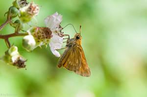 Skipper Butterfly by enaruna