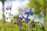 Cranesbill Flower