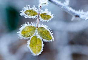 Frosty Rose Leaf by enaruna