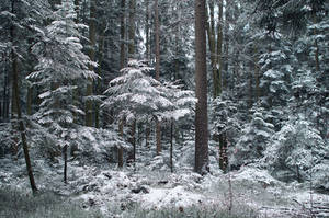 Trees in the Forest powdered with Snow