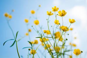 Buttercup Flowers by enaruna