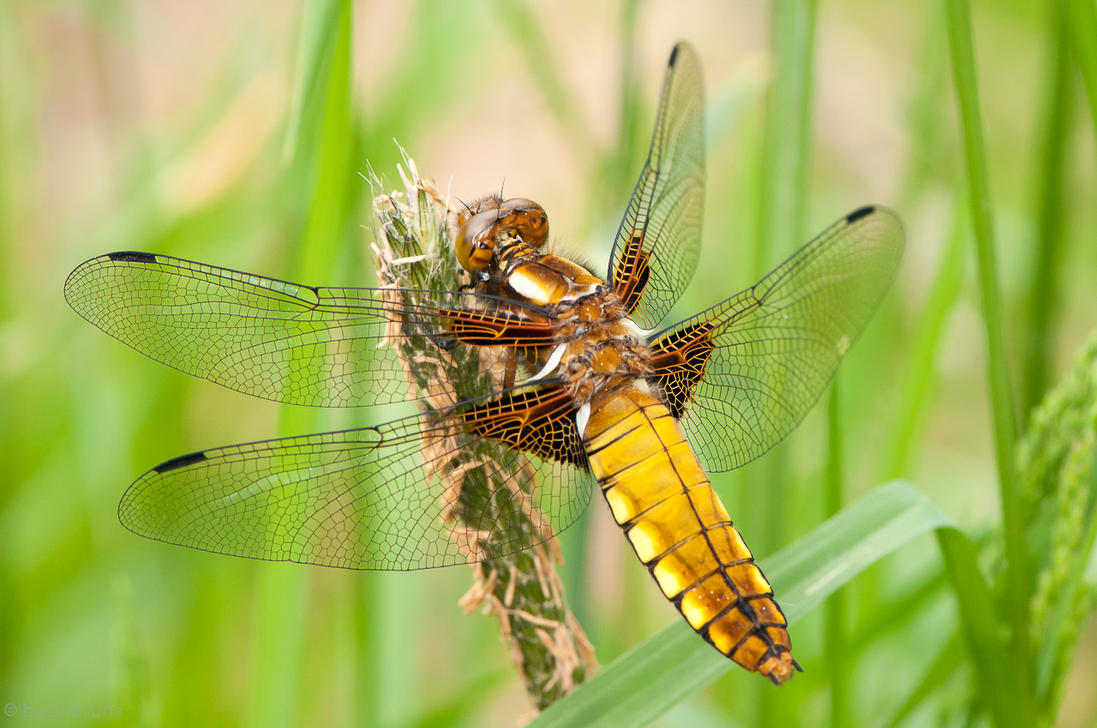 Broad-bodied Chaser by enaruna