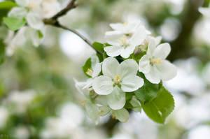 Apple Blossoms by enaruna