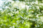 Whitethorn Blossoms by enaruna