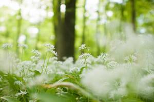 Flowering Wood Garlic by enaruna