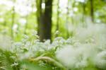 Flowering Wood Garlic