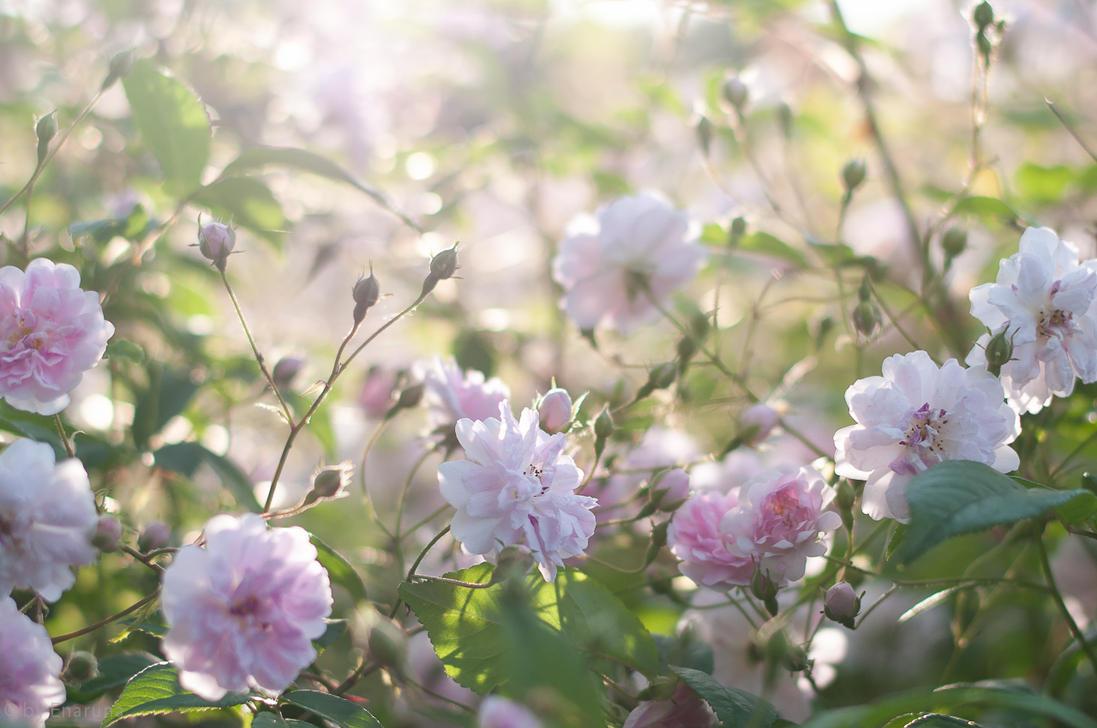 Roses by enaruna