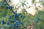 Sloe Berries by enaruna