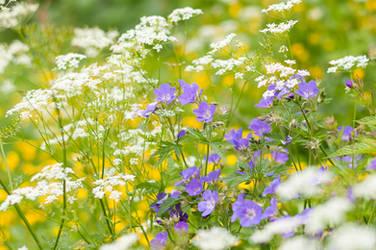 Cranesbill Flowers by enaruna