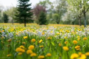 Cuckoo Flowers and Dandelions on a Spring Meadow