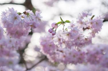 Japanese Cherry Blossoms by enaruna