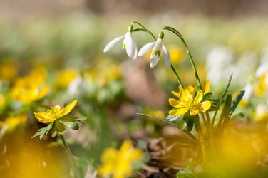 Snowdrops and Winter Aconite Flowers by enaruna