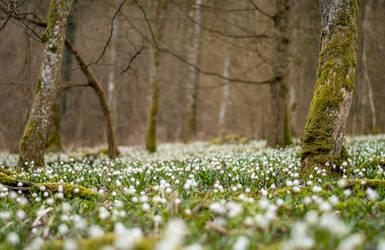 Spring Snowflakes by enaruna