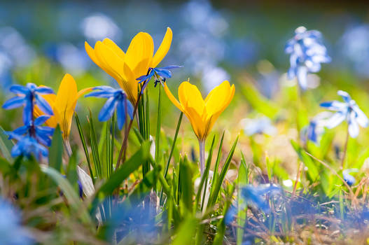Crocuses and Spring Squill Flowers