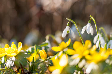 Snowdrops and Winter Aconite Flowers by enaruna