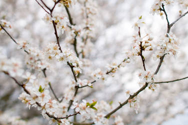Wild Plum Blossoms by enaruna