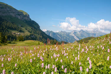 Flowering Alpine Meadow by enaruna