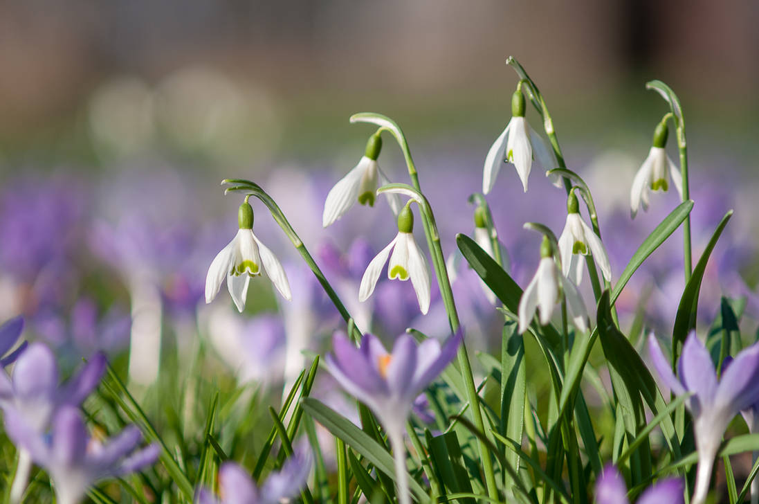 Snowdrops and Crocuses by enaruna