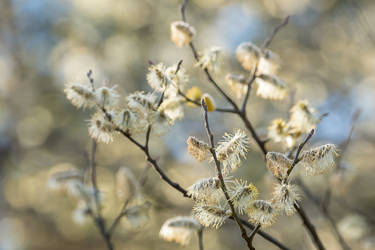 Willow Catkins by enaruna