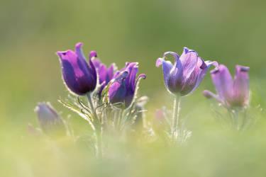 Pasque Flowers by enaruna
