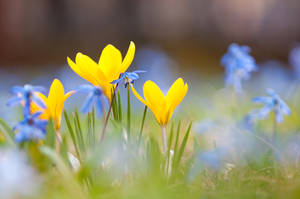 Crocuses and Spring Squill Flowers by enaruna