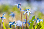 Spring Squill Flowers