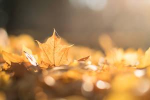 Autumn Leaf by enaruna