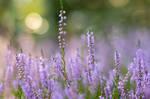 Heather Flower by enaruna