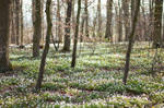 Carpet of Anemone Flowers in the Forest