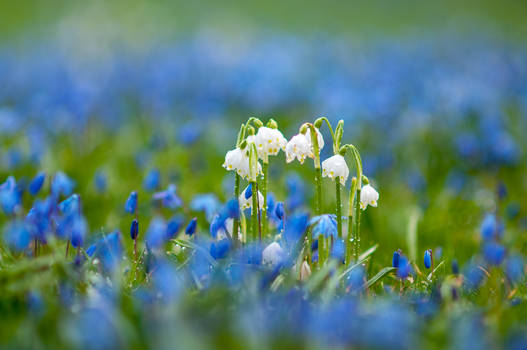 Spring squill and spring snowflakes