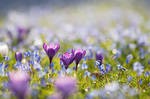 Crocuses and Siberian Squill