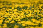Dandelion Meadow on the Swabian Alb