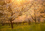 Cherry Blossoms in the Sunset by enaruna