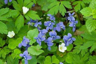 Violets and Wood Sorrel