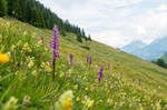 Orchids on a Alpine Meadow