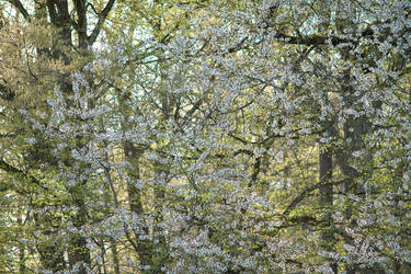 Cherry Blossoms near the Forest