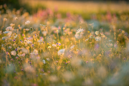 Wildflowers in the Sunset