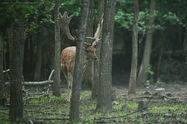 Deer by unbelievablex