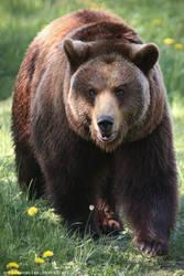 Brown Bear by unbelievablex