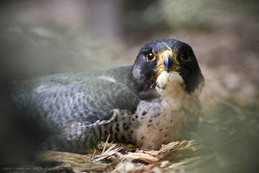 Falcon by unbelievablex