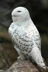 Hedwig by unbelievablex