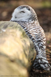 Hedwig II