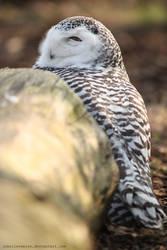 Hedwig II by unbelievablex