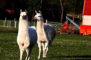Llama by beateo