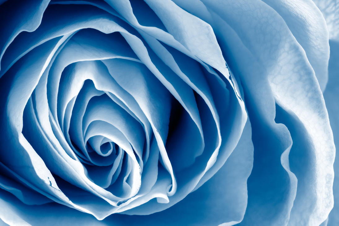 Blue Rose Macro by somadjinn