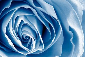Blue Rose Macro by boldfrontiers