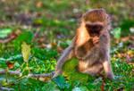Vervet Monkey II - HDR