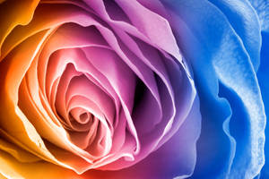 Rainbow Rose Macro by boldfrontiers