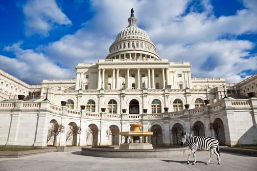 Capitol Zebra