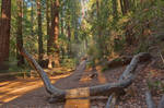 Muir Woods Trail III - Exclusive HDR Stock